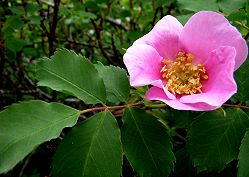 An Alberta Wild Rose Growing Near Canmore
